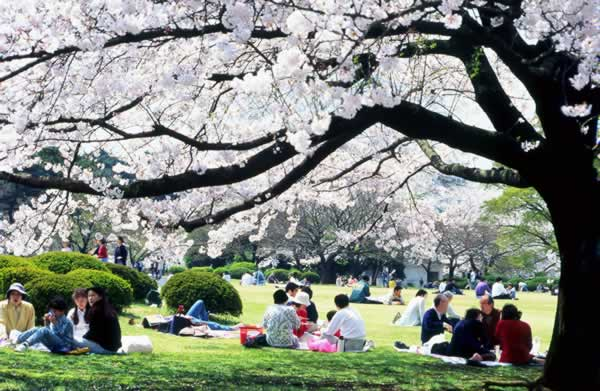 people relaxing under fully blossomed cherry trees in japan want to explore japan click here